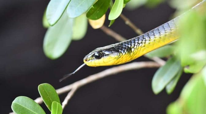 These snakes can jump—and scientists want to know why
